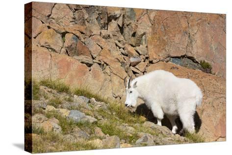 Wa, Alpine Lakes Wilderness, Ingalls Lake Area, Nanny Goat-Jamie And Judy Wild-Stretched Canvas Print