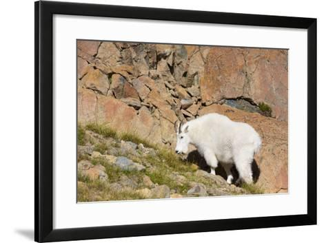 Wa, Alpine Lakes Wilderness, Ingalls Lake Area, Nanny Goat-Jamie And Judy Wild-Framed Art Print