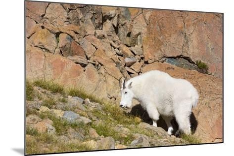 Wa, Alpine Lakes Wilderness, Ingalls Lake Area, Nanny Goat-Jamie And Judy Wild-Mounted Photographic Print