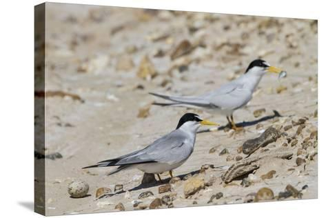 Port Isabel, Texas. Least Tern Beside Egg at Nest Colony-Larry Ditto-Stretched Canvas Print