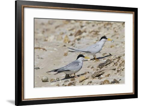 Port Isabel, Texas. Least Tern Beside Egg at Nest Colony-Larry Ditto-Framed Art Print