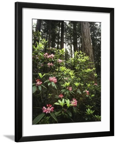 California, Del Norte Redwood Sp, Rhododendron in Coast Redwood Forest-Christopher Talbot Frank-Framed Art Print