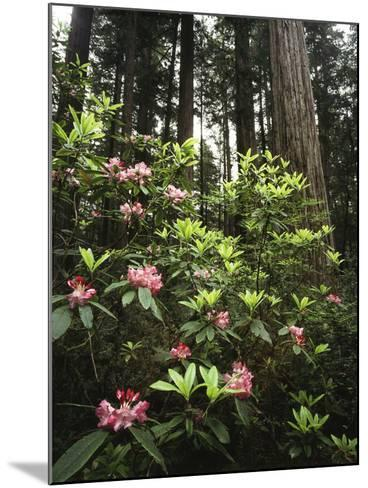 California, Del Norte Redwood Sp, Rhododendron in Coast Redwood Forest-Christopher Talbot Frank-Mounted Photographic Print