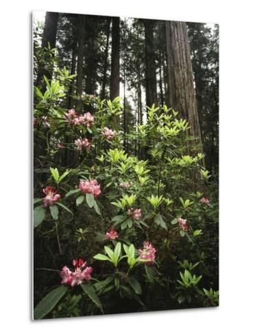 California, Del Norte Redwood Sp, Rhododendron in Coast Redwood Forest-Christopher Talbot Frank-Metal Print