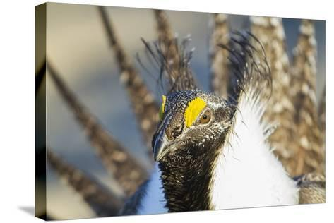 Wyoming, Sublette County, Greater Sage Grouse Head Shot-Elizabeth Boehm-Stretched Canvas Print