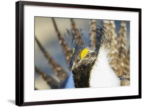 Wyoming, Sublette County, Greater Sage Grouse Head Shot-Elizabeth Boehm-Framed Art Print