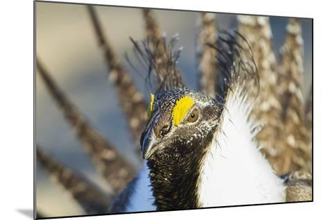 Wyoming, Sublette County, Greater Sage Grouse Head Shot-Elizabeth Boehm-Mounted Photographic Print