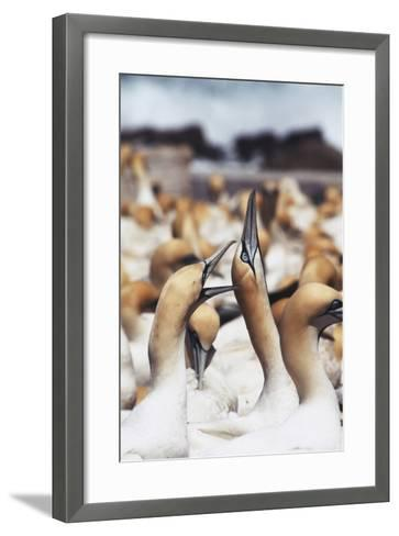 South Africa, Western Cape, High Jinks in the Gannet Colony-Stuart Westmorland-Framed Art Print