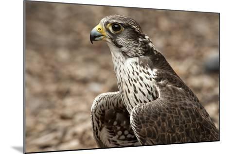 Falcon Portrait-Sheila Haddad-Mounted Photographic Print