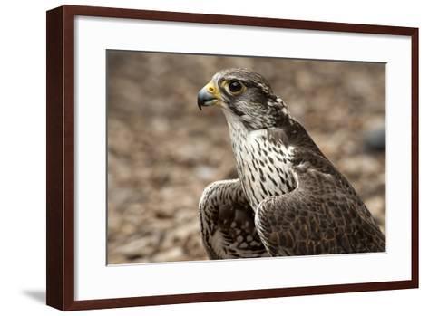 Falcon Portrait-Sheila Haddad-Framed Art Print