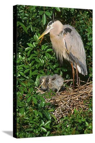 Florida, Venice, Great Blue Heron at Nest with Two Baby Chicks in Nest-Bernard Friel-Stretched Canvas Print