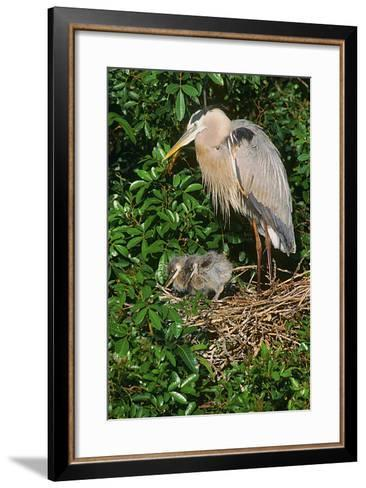 Florida, Venice, Great Blue Heron at Nest with Two Baby Chicks in Nest-Bernard Friel-Framed Art Print