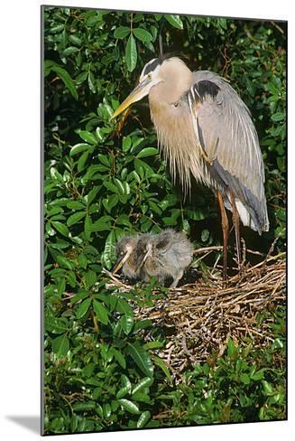 Florida, Venice, Great Blue Heron at Nest with Two Baby Chicks in Nest-Bernard Friel-Mounted Photographic Print