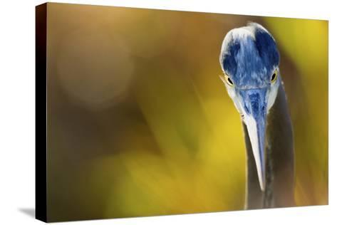 Great Blue Heron, Close Up Portrait-Ken Archer-Stretched Canvas Print