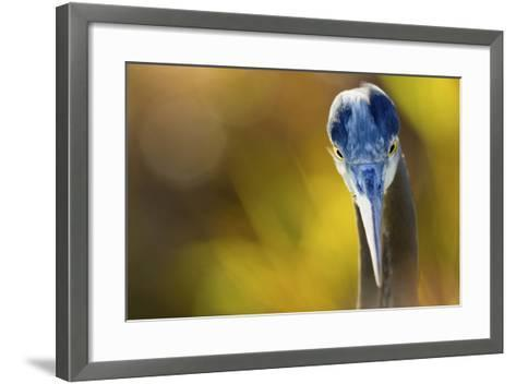 Great Blue Heron, Close Up Portrait-Ken Archer-Framed Art Print