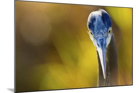 Great Blue Heron, Close Up Portrait-Ken Archer-Mounted Photographic Print