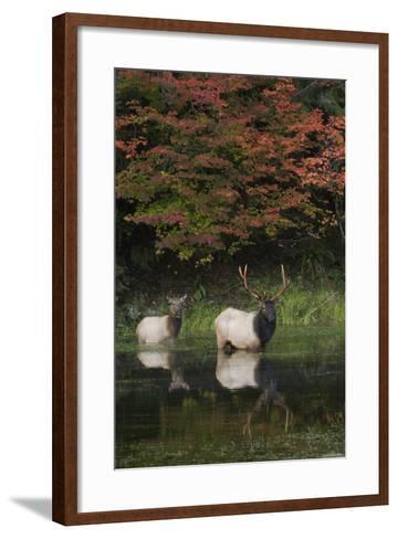 Roosevelt Elk, Bull and Cow-Ken Archer-Framed Art Print