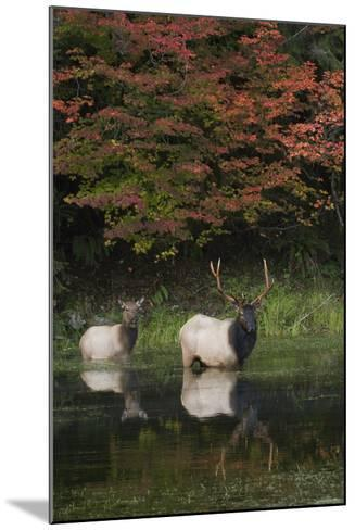 Roosevelt Elk, Bull and Cow-Ken Archer-Mounted Photographic Print