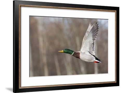 Mallard Drake Taking Flight-Ken Archer-Framed Art Print