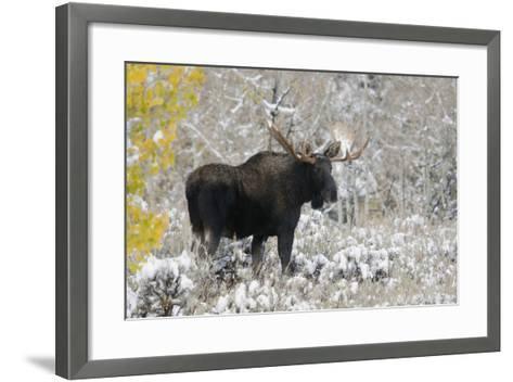 Shiras Bull Moose, Autumn Snow-Ken Archer-Framed Art Print