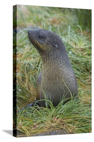 South Georgia. Prion Island. Antarctic Fur Seal in Tussock During Snow-Inger Hogstrom-Stretched Canvas Print