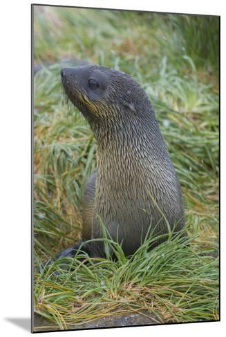 South Georgia. Prion Island. Antarctic Fur Seal in Tussock During Snow-Inger Hogstrom-Mounted Photographic Print