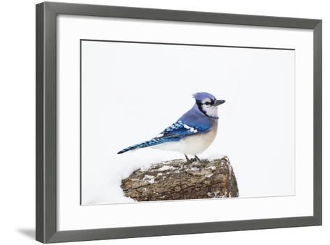 Wichita County, Texas. Blue Jay, Cyanocitta Cristata, Feeding in Snow-Larry Ditto-Framed Art Print