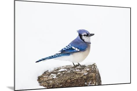 Wichita County, Texas. Blue Jay, Cyanocitta Cristata, Feeding in Snow-Larry Ditto-Mounted Photographic Print
