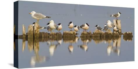 Montana, Red Rock Lakes, Franklyns Gulls and Ring Billed Gulls Roost-Elizabeth Boehm-Stretched Canvas Print