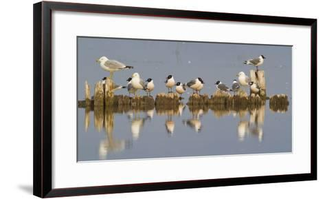 Montana, Red Rock Lakes, Franklyns Gulls and Ring Billed Gulls Roost-Elizabeth Boehm-Framed Art Print