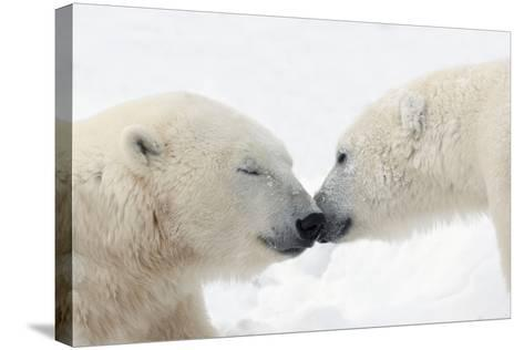 Two Polar Bears (Ursus Maritimus) Touching Noses or Kissing; Churchill, Manitoba, Canada-Design Pics Inc-Stretched Canvas Print
