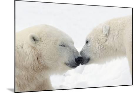 Two Polar Bears (Ursus Maritimus) Touching Noses or Kissing; Churchill, Manitoba, Canada-Design Pics Inc-Mounted Photographic Print