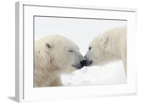 Two Polar Bears (Ursus Maritimus) Touching Noses or Kissing; Churchill, Manitoba, Canada-Design Pics Inc-Framed Art Print