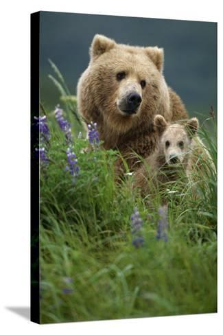 Sow Grizzly and Cubs in Grass Hallo Bay Katmai Np Alaska-Design Pics Inc-Stretched Canvas Print