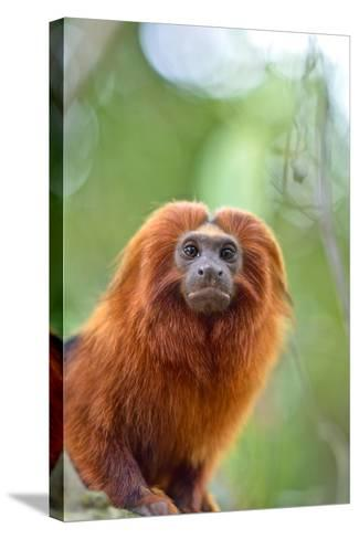 A Golden Lion Tamarin, Leontopithecus Rosalia, in the Atlantic Forest-Kike Calvo-Stretched Canvas Print