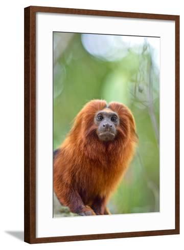 A Golden Lion Tamarin, Leontopithecus Rosalia, in the Atlantic Forest-Kike Calvo-Framed Art Print