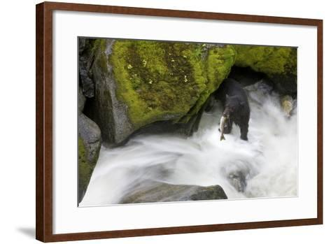 Overhead View of a Black Bear Catching a Pink Salmon in Anan Creek in Southeast Alaska-Design Pics Inc-Framed Art Print