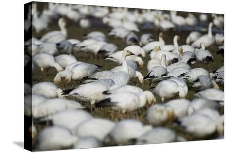 A Flock of Snow Geese, Chen Caerulescens, Feeding and Resting in a Farmer's Field-Paul Colangelo-Stretched Canvas Print