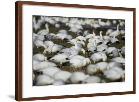 A Flock of Snow Geese, Chen Caerulescens, Feeding and Resting in a Farmer's Field-Paul Colangelo-Framed Art Print