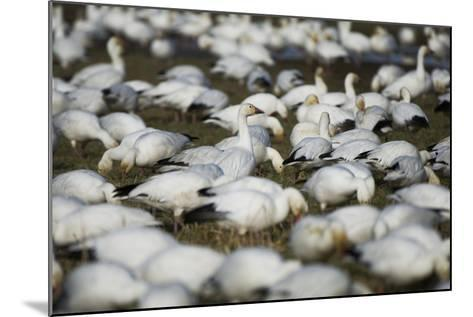 A Flock of Snow Geese, Chen Caerulescens, Feeding and Resting in a Farmer's Field-Paul Colangelo-Mounted Photographic Print