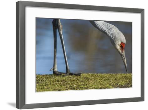 Close Up of a Sandhill Crane, Grus Canadensis, Feeding-Paul Colangelo-Framed Art Print
