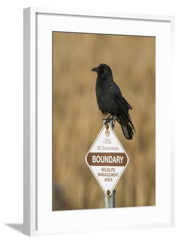 A Northwestern Crow, Corvus Caurinus, Perched on a Government Sign-Paul Colangelo-Framed Art Print