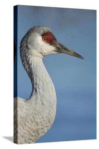 Close Up Portrait of a Sandhill Crane, Grus Canadensis-Paul Colangelo-Stretched Canvas Print