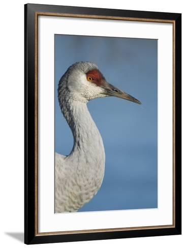 Close Up Portrait of a Sandhill Crane, Grus Canadensis-Paul Colangelo-Framed Art Print