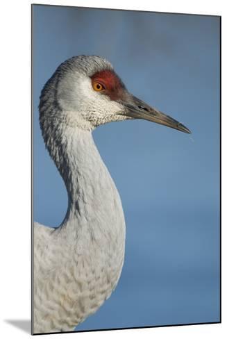 Close Up Portrait of a Sandhill Crane, Grus Canadensis-Paul Colangelo-Mounted Photographic Print