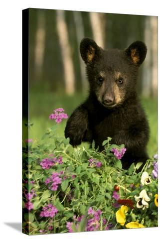 Captive Black Bear Cub Playing in Flowers Minnesota-Design Pics Inc-Stretched Canvas Print