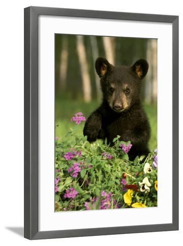 Captive Black Bear Cub Playing in Flowers Minnesota-Design Pics Inc-Framed Art Print