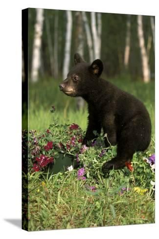 Captive Black Bear Cub Playing in Flowers Minnesota-Design Pics Inc-Stretched Canvas Print