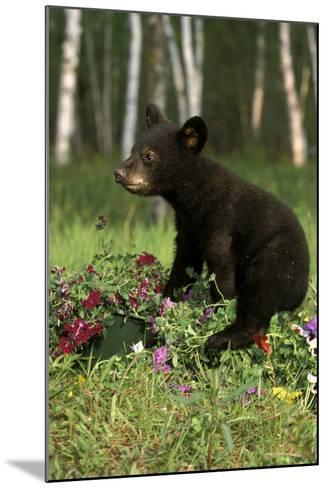 Captive Black Bear Cub Playing in Flowers Minnesota-Design Pics Inc-Mounted Photographic Print