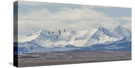Birds Fly Near the Front Range of the Rocky Mountains in Montana-Michael Melford-Stretched Canvas Print